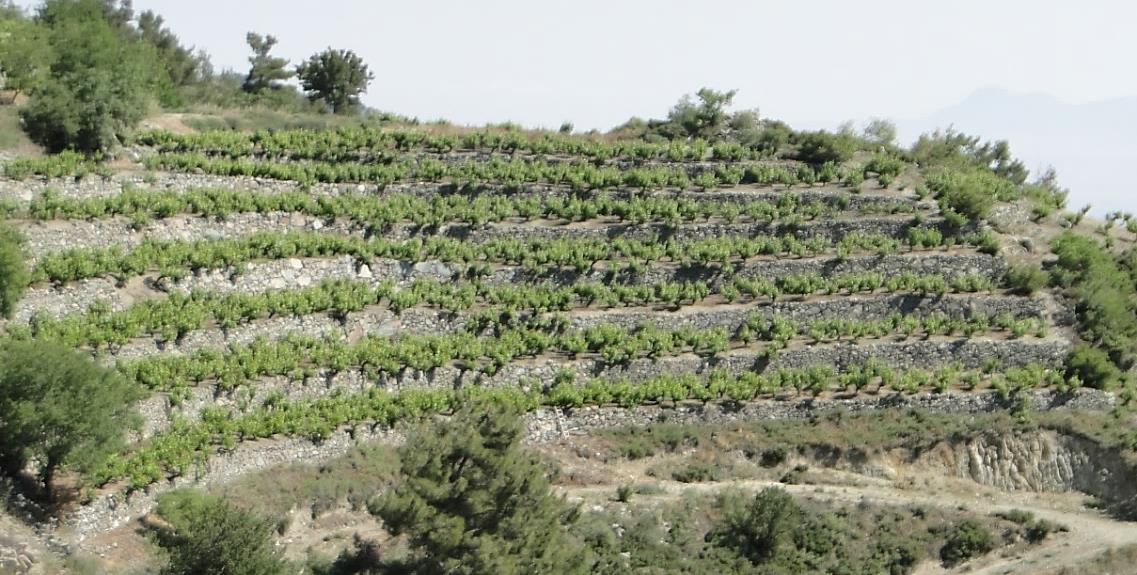 Vines terraces